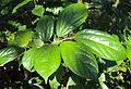 Alangium salviifolium leaves 07.JPG