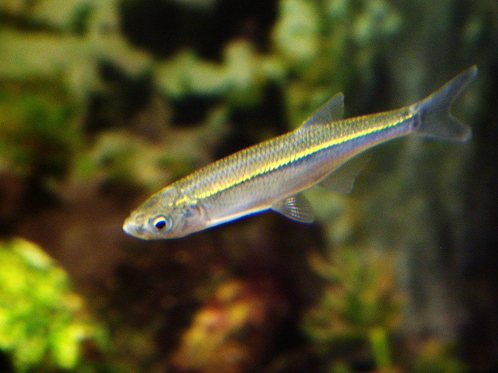 Belička európska (lat. Alburnus alburnus)