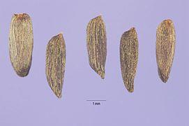 Alliaria petiolata seeds.jpg