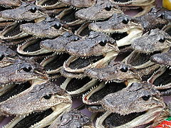 Alligator Heads.jpg