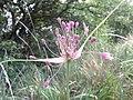 Allium carinatum subsp. carinatum sl 1.jpg