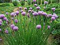 Allium schoenoprasum a1.jpg