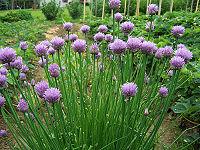 Allium schoenoprasum a1