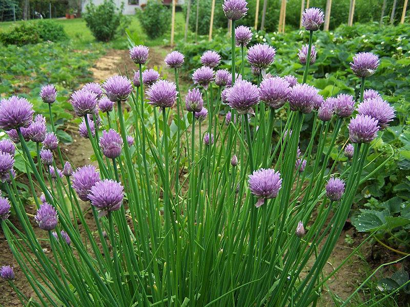 File:Allium schoenoprasum a1.jpg