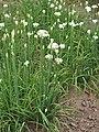 Allium tuberosum Czosnek bulwiasty 2019-08-09 01.jpg