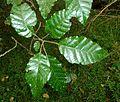 Allophylus dregeanus, loof, Krantzkloof NR.jpg