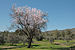 Almond tree 6241.jpg