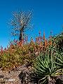Aloe spp in Arid Zone garden Brisbane Botanic Gardens Mt Coot-tha L1020658.jpg