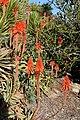 Aloes in Bloom (22448187998).jpg