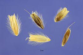 Alopecurus arundinaceus seeds.jpg