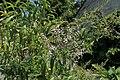Aloysia citrodora kz02.jpg