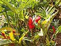 Alpinia purpurata Malaysia.jpg