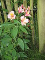 Alstroemeria cv02.jpg