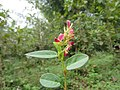 Alysicarpus vaginalis - Alyce Clover at Nilambur (6).jpg