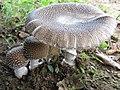 Amanita pantherina (DC.) Krombh 460272.jpg
