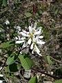 Amelanchier alnifolia-5-02-05.jpg