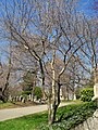 Amelanchier canadensis (without leaves), Mount Auburn Cemetery.JPG