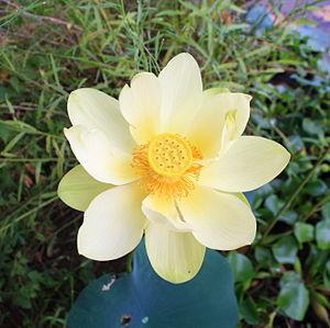 Nelumbo - N. lutea (American lotus)