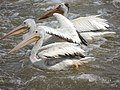 American White Pelican female.JPG