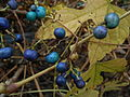 Ampelopsis brevipedunculata or porcelain berry close up.JPG