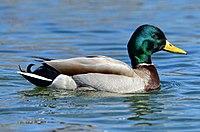 Anas platyrhynchos m Humber Bay Park Toronto.jpg