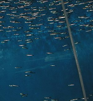 Bait fish - Anchovies are common baitfish in the ocean.