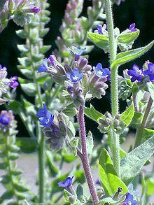 Buglose officinale en fleurs au printemps