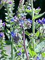 Anchusa officinalis1.jpg