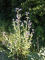 Anchusa officinalis 16-06-2006 20.07.14.JPG