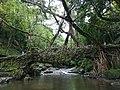 Ancient Root Bridge, Mawlynnong, Meghalaya, India.jpg