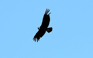 Cordillera Oriental montane forests - Andean condor (Vultur gryphus)