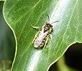 Andrena chrysoceles (Hawthorn Mining Bee), stylopised (37374081900).jpg