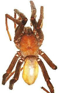 <i>Anemesia</i> Genus of spiders