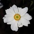 Anemone hupehensis var. japonica-bloom-full PNr°0604.jpg