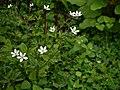 Anemone rivularis (7760443896).jpg