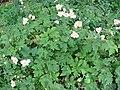 Anemone x hybrida 03.jpg