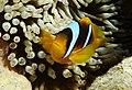 Anemonefish (clownfisch) im Roten Mer in Ägypten.DSCF4726OB.jpg