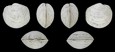 Anodontia alba 01.jpg
