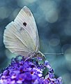 Another Butterfly (5447245987).jpg