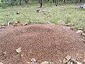 Ant hill02.jpg