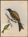Anthornis melanocephala - 1845-1848 - Print - Iconographia Zoologica - Special Collections University of Amsterdam - UBA01 IZ19200041.tif