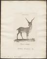 Antilope cervicapra - 1770-1837 - Print - Iconographia Zoologica - Special Collections University of Amsterdam - UBA01 IZ21400107.tif