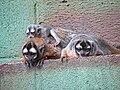 Aotus nigriceps 2.jpg