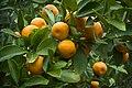 Apfelsinenbaum--Orange tree.jpg