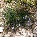 Aphyllanthes monspeliensis-Œillet bleu de Montpellier-20160420.jpg