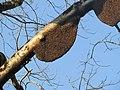 Apis dorsata - Giant honey bee on Tetrameles nudiflora on Makuta Virajpet road (2).jpg