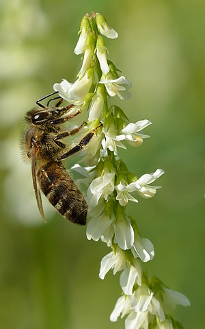 Honey bee and white sweet clover
