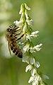Apis mellifera - Melilotus albus - Keila2.jpg