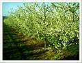 April Season Apple Blossom - Master Landscape Rhine Valley 2013 - panoramio (8).jpg