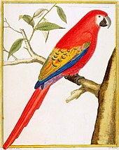 An illustration of a macaw with orange-red tail, back and breast feathers, and mauve, blue and yellow wings. It sits on a tree branch facing right.